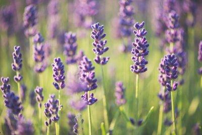 Fototapet lavendel-