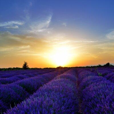 Fototapet lavendel fält