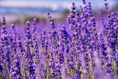 Fototapet Lavendel Fält på sommaren