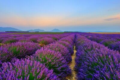 Fototapet Lavendel fält vid solnedgången