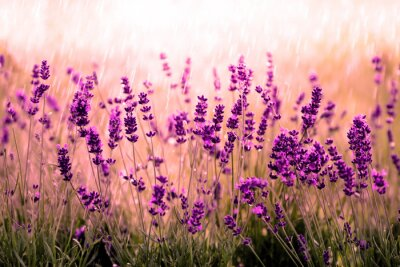 Fototapet Lavendelfeld röta