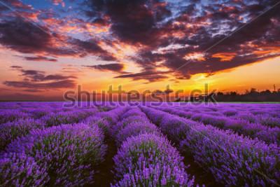 Fototapet Lavender flower blooming fields in endless rows. Sunset shot.