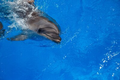 Fototapet Leende delfin. delfiner simma i poolen