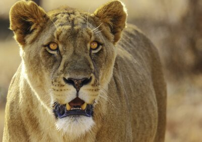 Fototapet lejon