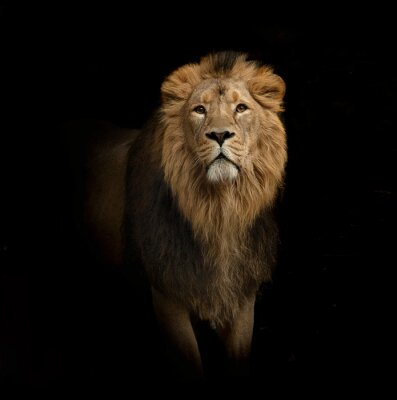 Fototapet lejon porträtt på svart