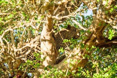 Fototapet Leopard gömmer sig i ett träd