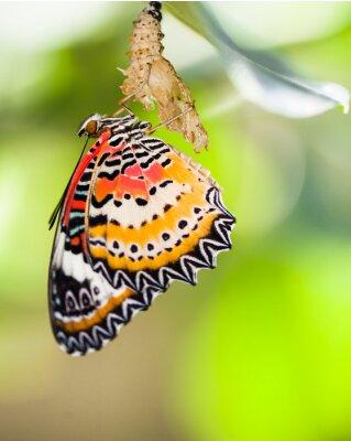 Fototapet Leopard lacewing fjäril kommer ut från puppa
