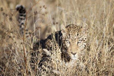 Fototapet Leopard rör sig genom bushveld
