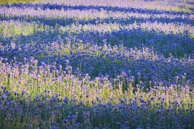 Fototapet Lila blomma fält