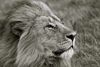 Fototapet Lion blickar ut över savannen