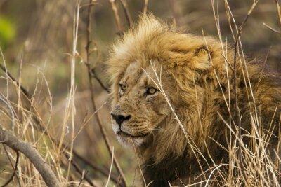 Fototapet Lion i Kruger National Park