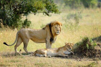 Fototapet Lion i nationalparken Kenya, Afrika