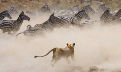 Fototapet Lioness attack på en zebra. Nationalpark. Kenya. Tanzania. Masai Mara. Serengeti. En utmärkt illustration.