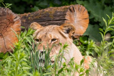 Fototapet Lioness i gräset