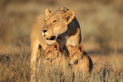 Fototapet Lioness med unga lejon Eagles (Panthera leo) i början av morgonljuset, Kalahariöknen, Sydafrika.