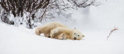 Fototapet Lite björn leker med en filial i tundran. Kanada. En utmärkt illustration.