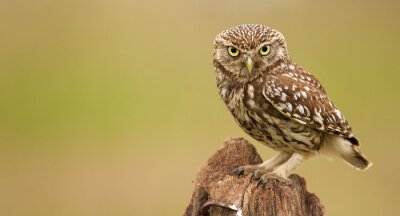 Fototapet Little Owl på ett gammalt inlägg tittar på kameran