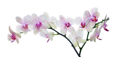 Fototapet ljus färg orkidé i rosa fläckar på vitt