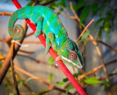Fototapet Ljus och färgrik kameleont sitter på en gren