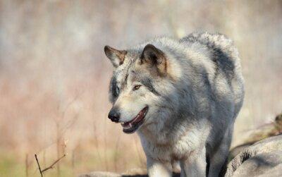 Fototapet loup en automne sauvage