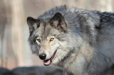 Fototapet loup gris d Amérique