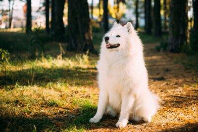 Fototapet Lycklig Vit Samoyed Dog Outdoor i Forest