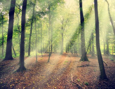 Fototapet magisk skog i myst med solstråle