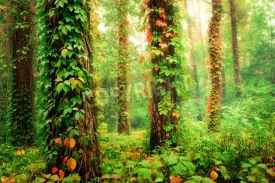 Fototapet Magisk skog med strumpor tvinnad av färgglada klättring vilda druvor
