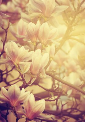 Fototapet magnolia