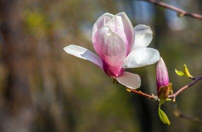 Fototapet magnolia blomma.