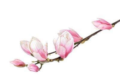 Fototapet Magnolia blomma gren isolerad på en vit bakgrund