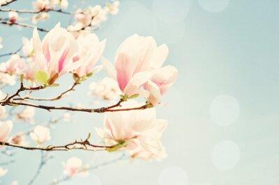 Fototapet Magnolia blomma med en sol flare. Grunt område av djup.