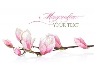 Fototapet Magnolia blomma på en vit bakgrund