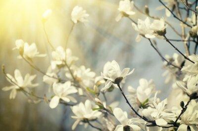 Fototapet magnolia blommor