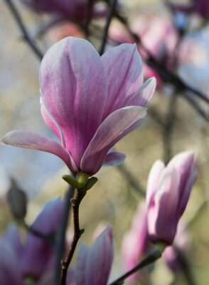 Fototapet magnolia fleur