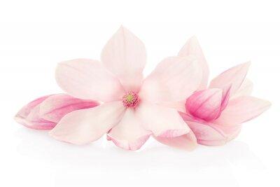 Fototapet Magnolia, rosa blommor och knoppar grupp på vitt, klippning