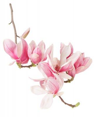 Fototapet Magnolia, vår rosa blomma gren och knoppar på vitt, klippning