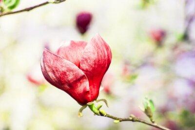 Fototapet magnoliaträd blommar