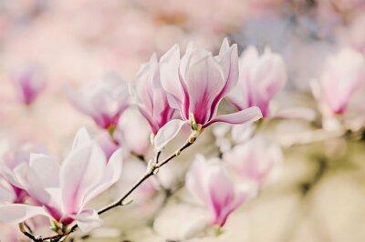 Fototapet Magnolienblüten