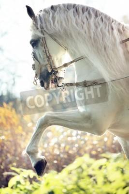 Fototapet Majestic kunglig vit häst i rörelse
