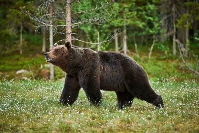 Fototapet Man brunbjörn