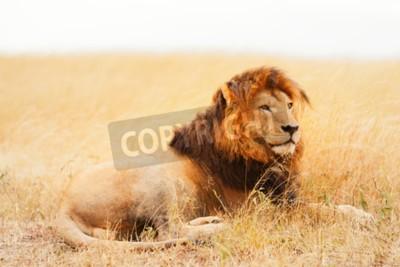 Fototapet Man lejon liggande i gräset på solnedgången i Masai Mara, Kenya