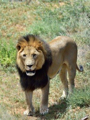 Fototapet Man lejon, Namibia