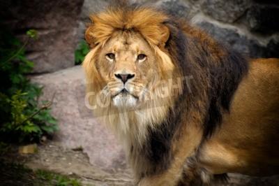 Fototapet Man lejon tittar ut ovanpå stenig häll.
