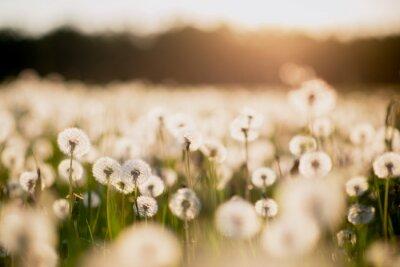 Fototapet maskros fält vid solnedgången