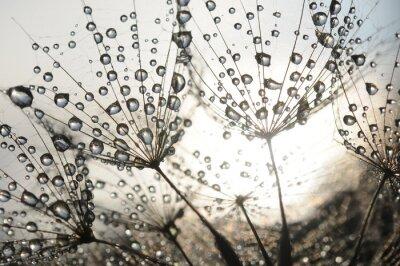 Fototapet Maskros frön med daggdroppar