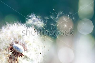 Fototapet Maskros. Närbild på maskrossporer blåser bort, maskrosfrön i solljuset blåser bort över en ny grön morgonbakgrund