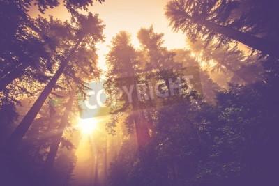 Fototapet Misty Forest Trail. Magi Redwood Forest landskap i Warm Vintage färgläggning.