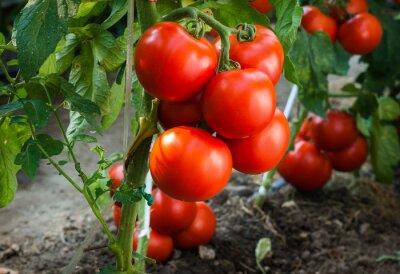 Fototapet Mogna tomater i trädgården redo att skörda