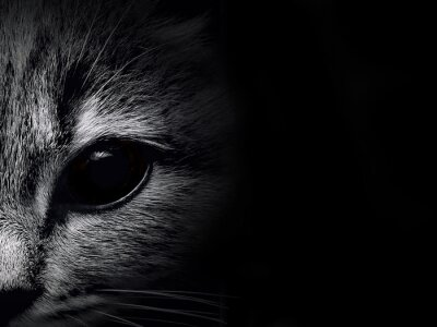 Fototapet mörk mynnings katt närbild. frontvy